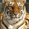 Avatar for member Tiger